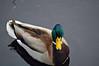 Mallard, or Wild Duck, male (Anas platyrhynchos)