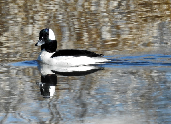 Bufflehead (Bucephala albeola) - male breeding