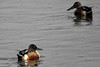 Northern Shoveler (Anas clypeata) - male