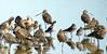 Marbled Godwit (Limosa fedoa)