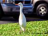 Cattle Egret (Bubulcus ibis) - Non-breeding