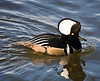 Hooded Merganser, male (Lophodytes cucullatus)
