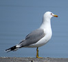 California Gull (Larus californicus) breeding colors