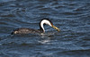 Western Grebe, (Aechmophorus occidentalis)