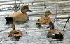 Gadwall (Anas strepera) - male and females