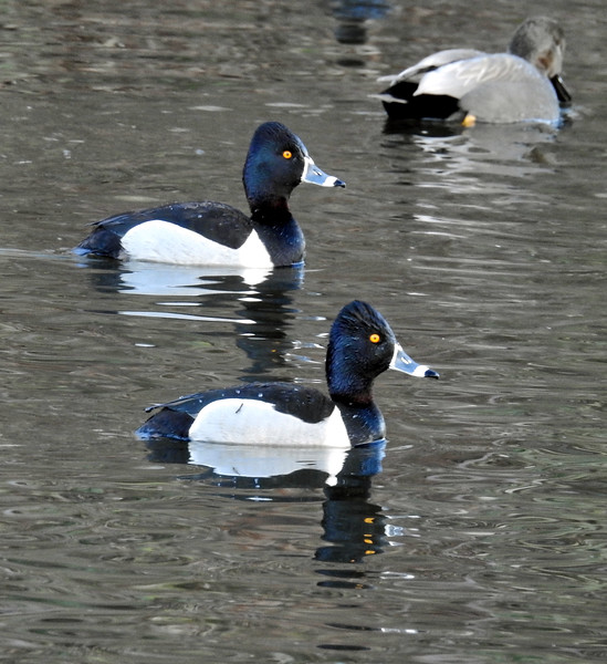 Ring-necked duck - Aythya collaris - Males