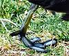 American Coot (Fulica americana) - foot