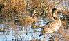 Northern Shoveler -AND - Northern Pintail - females