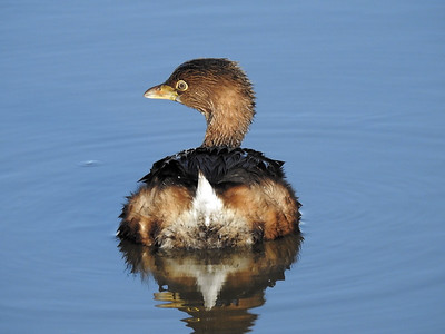 Pied-billed Grebe - Podilymbus podiceps - Non-breeding