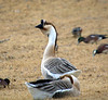 Chinese Goose (Anser cygnoides domesticus)