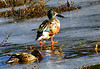 Northern Shoveler (Anas clypeata) - male and female