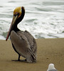 Brown Pelican (Pelecanus occidentalis) - adult breeding