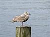 Glaucous-winged Gull (Larus glaucescens) - Juvenile