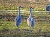 Sandhill Crane (Grus canadensis) - mated pair?