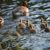 Geese with Gosling Babies swimming