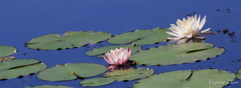 Water Lilies - Pink and White