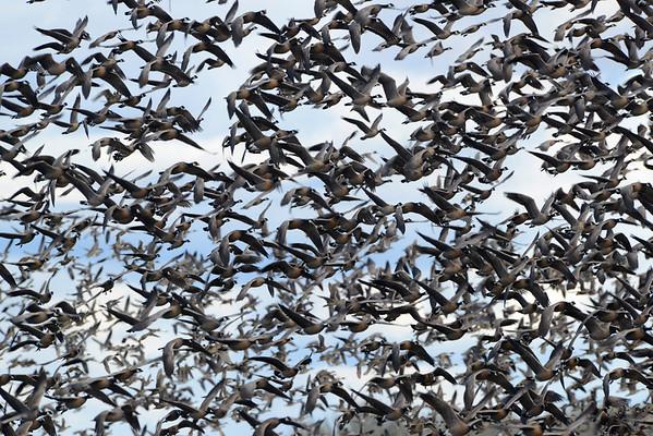 Waterefowl in flight