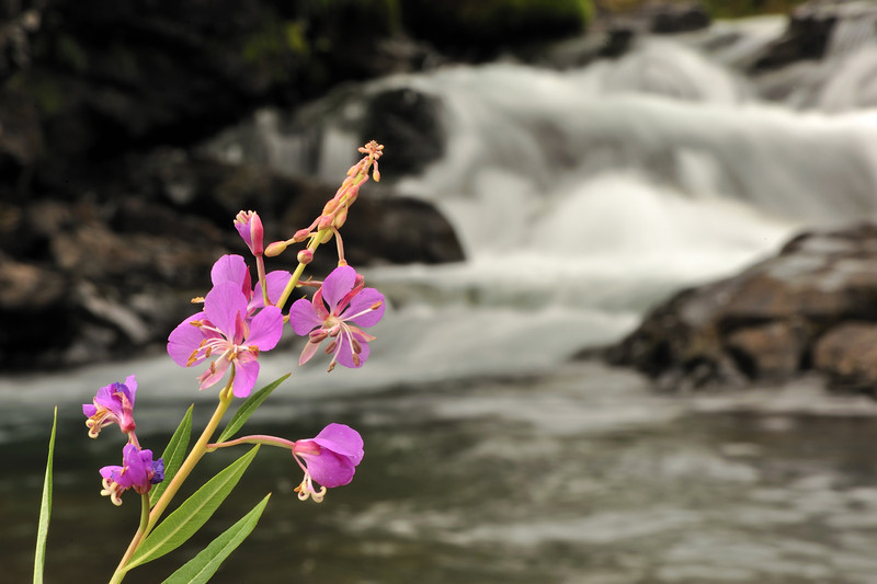 Flowers and waterfalls, Mineral Creek, Silverton CO, September 2011