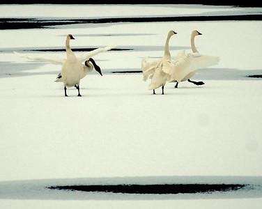 Tundra Swan Dance