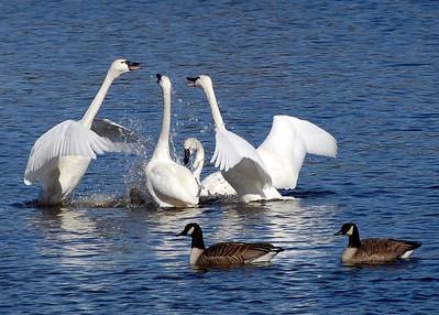 Talkin' Politics (Tundra Swans)