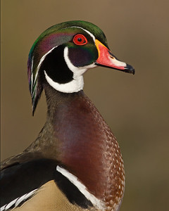 This male Wood Duck photograph was captured in Santee Lakes, California (1/08).   This photograph is protected by the U.S. Copyright Laws and shall not to be downloaded or reproduced by any means without the formal written permission of Ken Conger Photography.