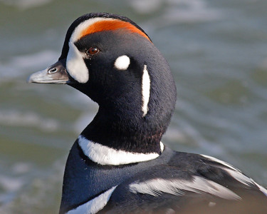This photograph of a male Harlequin duck was captured in the Barnegat Bay, NJ area (1/07).   This photograph is protected by the U.S. Copyright Laws and shall not to be downloaded or reproduced by any means without the formal written permission of Ken Conger Photography.