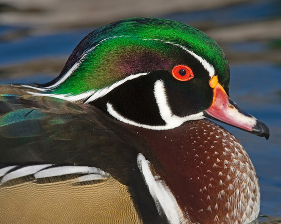 This male Wood duck photograph was captured in   This photograph is protected by the U.S. Copyright Laws and shall not to be downloaded or reproduced by any means without the formal written permission of Ken Conger Photography.