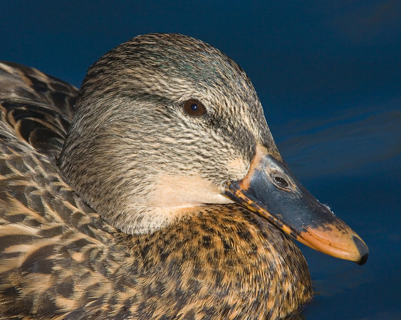 This female Mallard duck head photograph was captured in New Mexico (12/07).    This photograph is protected by the U.S. Copyright Laws and shall not to be downloaded or reproduced by any means without the formal written permission of Ken Conger Photography.