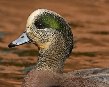This male Widgeon Duck photograph was captured in Albuquerque, New Mexico (2/07).   This photograph is protected by the U.S. Copyright Laws and shall not to be downloaded or reproduced by any means without the formal written permission of Ken Conger Photography.