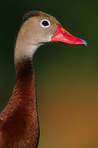 This photograph of Black-bellied Whistling duck was captured at Wakodahatchee Wetlands in Delray Beach, Florida (8/05).   This photograph is protected by the U.S. Copyright Laws and shall not to be downloaded or reproduced by any means without the formal written permission of Ken Conger Photography.
