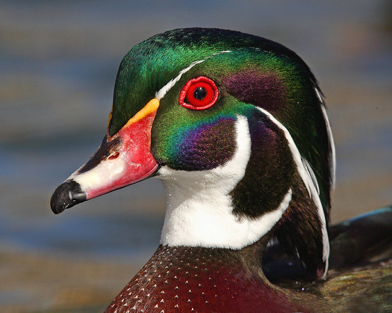 This male Wood Duck photograph was captured in Albuquerque, New Mexico (2/07).   This photograph is protected by the U.S. Copyright Laws and shall not to be downloaded or reproduced by any means without the formal written permission of Ken Conger Photography.