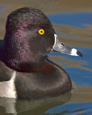 This male Ringed-neck duck photograph was captured in New Mexico (12/07).    This photograph is protected by the U.S. Copyright Laws and shall not to be downloaded or reproduced by any means without the formal written permission of Ken Conger Photography.