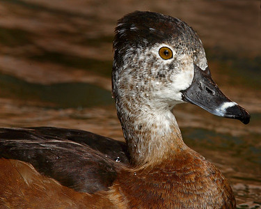 This female Ring-necked Duck photograph was captured in Albuquerque, New Mexico (2/07).   This photograph is protected by the U.S. Copyright Laws and shall not to be downloaded or reproduced by any means without the formal written permission of Ken Conger Photography.