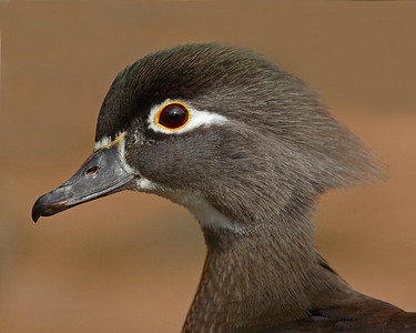 This female Wood Duck photograph was captured in Albuquerque, New Mexico (2/07).   This photograph is protected by the U.S. Copyright Laws and shall not to be downloaded or reproduced by any means without the formal written permission of Ken Conger Photography.