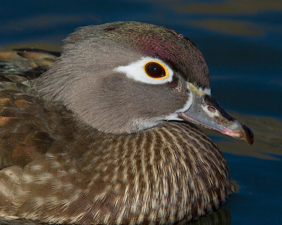 This female Wood duck photograph was captured in New Mexico (12/07).   This photograph is protected by the U.S. Copyright Laws and shall not to be downloaded or reproduced by any means without the formal written permission of Ken Conger Photography.