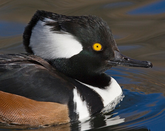 This male Hooded Merganser duck photograph was captured in New Mexico (12/07).    This photograph is protected by the U.S. Copyright Laws and shall not to be downloaded or reproduced by any means without the formal written permission of Ken Conger Photography.