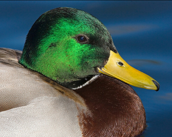 This male Mallard duck photograph was captured in New Mexico (12/07).    This photograph is protected by the U.S. Copyright Laws and shall not to be downloaded or reproduced by any means without the formal written permission of Ken Conger Photography.