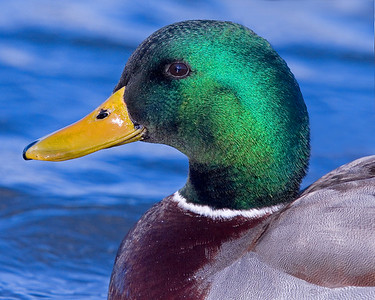 This photograph of a male Mallard duck was captured on the Choptank River in Maryland (2/07).   This photograph is protected by the U.S. Copyright Laws and shall not to be downloaded or reproduced by any means without the formal written permission of Ken Conger Photography.