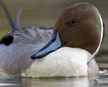 This photograph of male Pintail was captured in San Diego, California (1/08).   This photograph is protected by the U.S. Copyright Laws and shall not to be downloaded or reproduced by any means without the formal written permission of Ken Conger Photography.