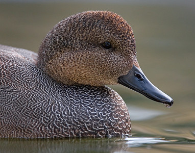 This photograph of male Gadwall Duck was captured in San Diego, California (1/08).   This photograph is protected by the U.S. Copyright Laws and shall not to be downloaded or reproduced by any means without the formal written permission of Ken Conger Photography.