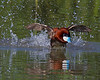 "This photograph of a male Ruddy Duck blasting off to chase off a competitor was captured in Bear River National Wildlife Refuge, Utah (6/11).    <FONT COLOR=""RED""><h5>This photograph is protected by the U.S. Copyright Laws and shall not to be downloaded or reproduced by any means without the formal written permission of Ken Conger Photography.<FONT COLOR=""RED""></h5>"