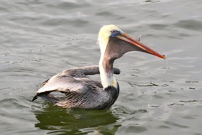 Pelican Swallowing