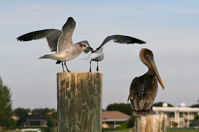 Seagulls Alighting with Pelican