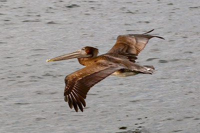 Pelican Soaring
