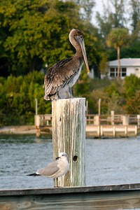 Pelican and Seagull on pier