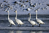 Trumpeter swans on Des Moines River