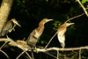 Green Heron chicks warming and grooming