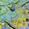 Lily Pond: Study VI