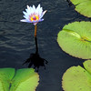 Waterlily, Wave Hill, 9/10/11