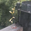 Leaves caught in spider web spun on rain gauge - South West